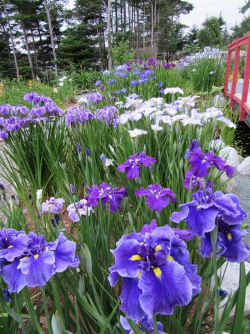 Japanese Iris Convention 2020
