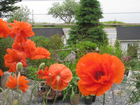 spring poppies and salt spray