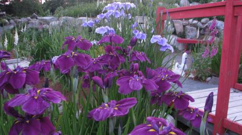 Japanese irises beside the bridge.