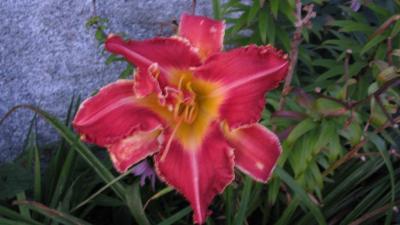 Rosy Spiketail