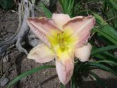 Atlanta Orchid Mist
