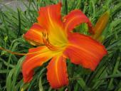 Heavenly Orange Blaze