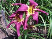 Purple Corn Dancer