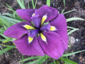 Purple Japanese iris