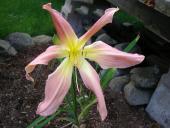 Webster's Pink Wonder